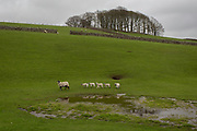 Sheep and spring lambs in a farm land landscape, on 13th April 2017, in Horton in Ribblesdale, Yorkshire, England.