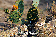 02905-002.02 Western Diamondback Rattlesnake (Crotalus atrox) Starr Co. TX