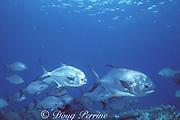 permit, Trachinotus falcatus, and chub, Kyphosus sp., Bahamas, ( Western Atlantic Ocean )