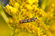 Ailanthus webworm moth on goldenrod at Fart Hill in Cape Cod National Seashore.
