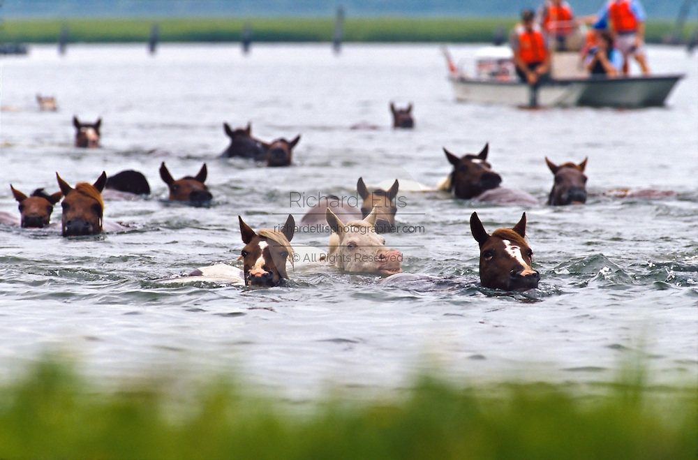 The wild ponies of Chincoteague reach land after swimming across the channel from Assateague Island to Chincoteague Island during the annual Pony Swim, July 27, 2011 in Chincoteague, Virginia.