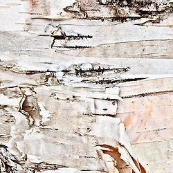 The bark of a paper birch tree in New Hampshire's White Mountain National Forest.