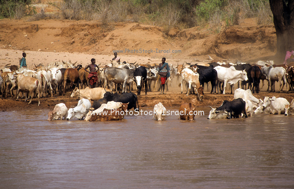 herd of cattle of the Samburu tribe. The Samburu are a Nilotic people of north-central Kenya. Samburu are semi-nomadic pastoralists who herd mainly cattle but also keep sheep, goats and camels.