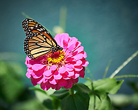 Monarch Butterfly on a Pink Zinnia Flower. Image taken with a Nikon Df camera and 80-400 mm VRII lens (ISO 280, 400 mm, f/5.6, 1/500 sec).