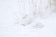 01863-01408 Two Arctic Foxes (Alopex lagopus) in snow Chuchill Wildlife Mangaement Area, Churchill, MB Canada