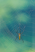 Giant golden Orb Weaver spinning web