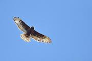 Ferruginous Hawk gliding on thermal of the Canadian prairie<br />Robsart<br />Saskatchewan<br />Canada
