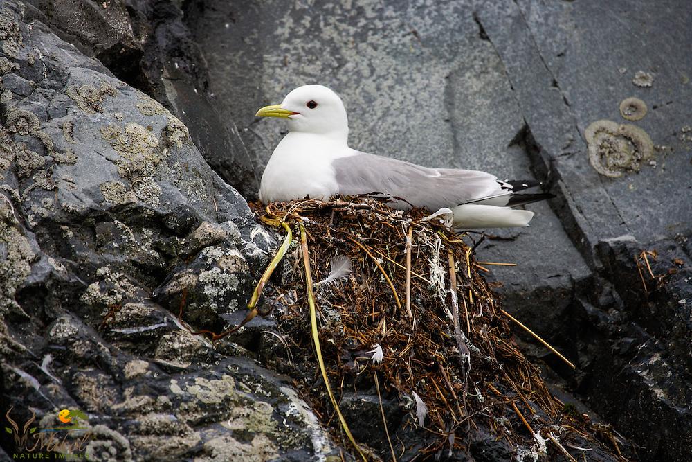 Black-legged Kittiwake nesting on cliff