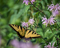 Eastern Tiger Swallowtail Butterfly feeding on Bee Balm (Lemon-Mint). Image taken with a Leica SL2 camera and 90-280 mm lens