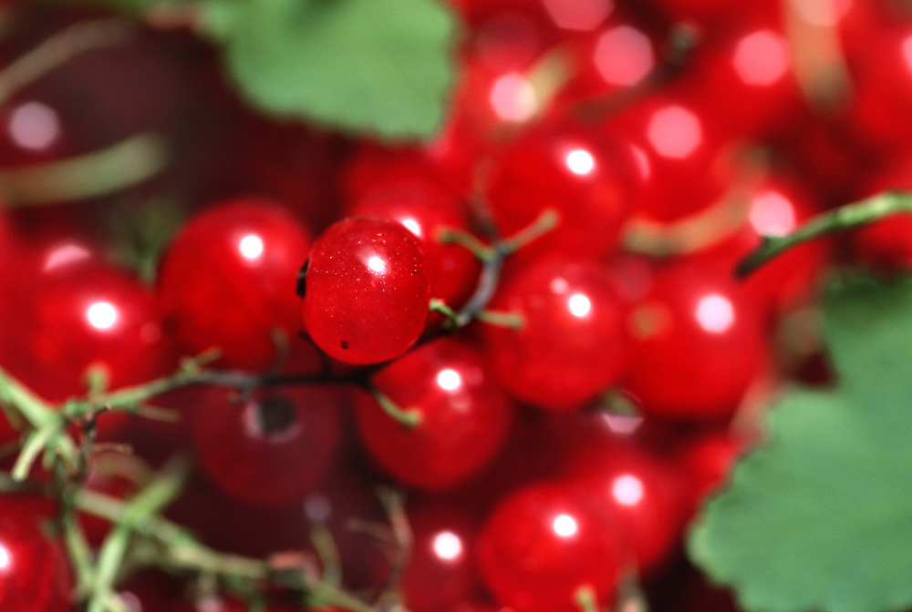 Extreme close up selective focus photo of Red Currants and leaves