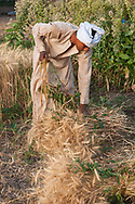 Luxor, Egypt - April 10, 2010: Hassan, age 23, harvests wheat in a field near his home on the West Bank of Luxor.