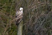 Nederland, Ubbergen, 31-3-2013Een buizerd zit op een paal op zoek naar prooi, voedsel. A buzzard looking for preyFoto: Flip Franssen/Hollandse Hoogte