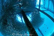 baitfish schooling under dock,<br /> Mabul Island, off Borneo, <br /> Sabah, Malaysia ( Celebes Sea )