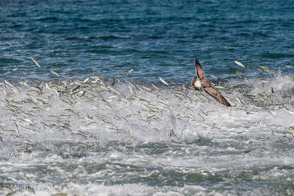 Predatory fish and birds hunt Striped Mullet, Mugil cephalus, near the beach in Singer Island, Florida, during the baitfish's annual fall migration.