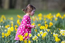 © Licensed to London News Pictures. 15/03/2017. Leeds, UK. 2-year-old Elodie Bucknall plays in a patch of colourful daffodils on a warm and sunny spring day at Roundhay Park in Leeds, West Yorkshire.Photo credit : Ian Hinchliffe/LNP