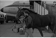 Arrival of Ninski Major and Torus.   (M95)..1979..11.10.1979..10.11.1979..11th October 1979..With the Irish St Ledger to be run, on Saturday 13th Oct, two of the race favourites landed at Dublin Airport today. Ninski Major to be ridden by Willie Carson and Torus to be ridden by John Reid unloaded from the Aer Turas animal transport..Torus is pictured stretching his legs on the tarmac at Dublin Airport.