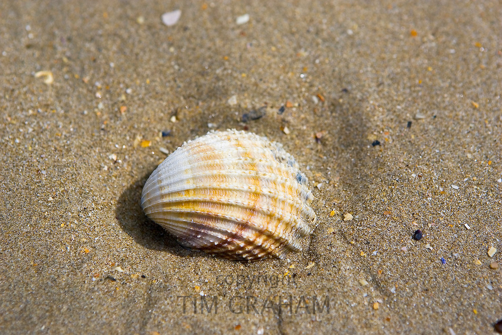 Cockle shell washed up on Utah Beach, Normandy, France