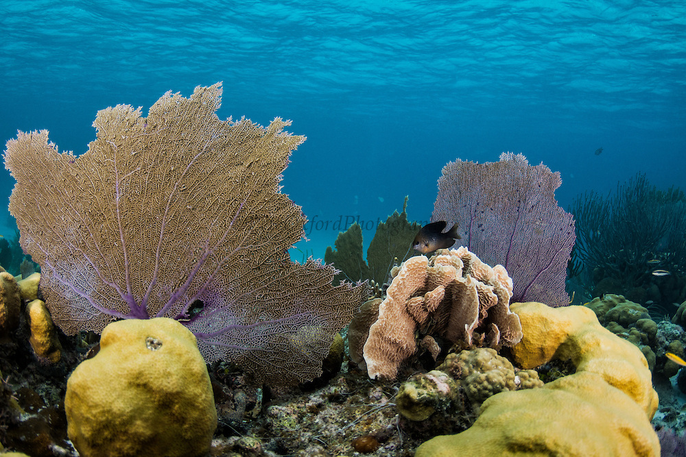Common Sea Fan (Gorgonia ventalina)<br /> Hol Chan Marine Reserve<br /> Ambergris Caye<br /> Belize<br /> Central America