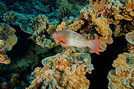 Ember parrotfish, Scarus rubroviolaceus, Bleeker, 1847, Maui, Hawaii