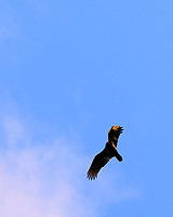 Turkey Vulture in Flight. Image taken with a Fuji X-T3 camera and 200 mm f/2 telephoto lens + 1.4x teleconverter (ISO 320, 280 mm, f/5.6, 1/500 sec).