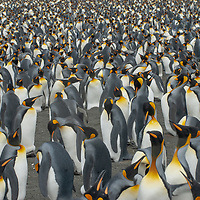 King Penguins stand & nurse their eggs at a rookery at Gold Harbor, South Georgia, Antarctica.