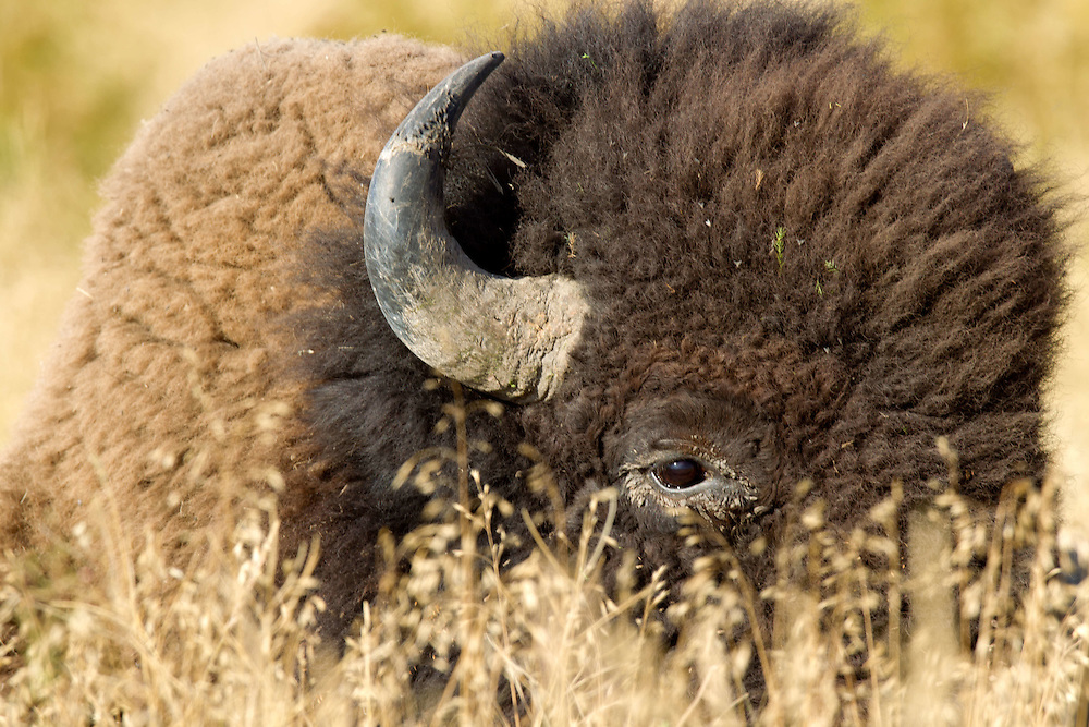Buffalo in the Grass