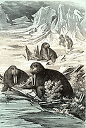 Hunting Walrus. Walrus (Odobenus rosmarus), large semi-aquatic mammal native to Arctic regions was hunted for its flesh, hide and its ivory tusks.  Chromoxylograph from 'The Polar World' by G Hartwig (London, 1874).