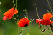 Common poppy, Papaver rhoeas, group in garden, Inverness, Inverness-shire, Highland..