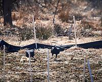 Black Vulture. Image taken with a Nikon D5 camera and 600 mm f/4 VRII lens