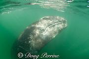 gray whale calf, Eschrichtius robustus, hangs vertically in the water, San Ignacio Lagoon, El Vizcaino Biosphere Reserve, Baja California Sur, Mexico