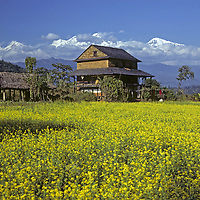 NEPAL, HIMALAYA, Mustard fields & Brahman farm below Himalchuli Peak., Marsyandi Valley.
