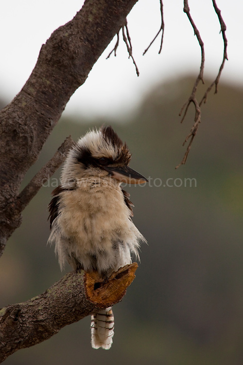 Laughing Kookaburra with fluffed up feathers at Seal Rocks, New South Wales, Australia