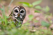 A Barred Owl peers through the grass as it looks for a meal, Friday, May 29, 2020, in Nashville, Tenn. (Wade Payne via AP Images)