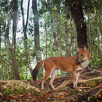 The dhole (Cuon alpinus) is a canid native to Central, South, and Southeast Asia. Other English names for the species include Asian wild dog, Asiatic wild dog, Indian wild dog, whistling dog, red dog, and mountain wolf.