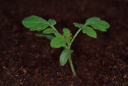 Tomato Plant, growth sequence, first true leaves, from two weeks growth