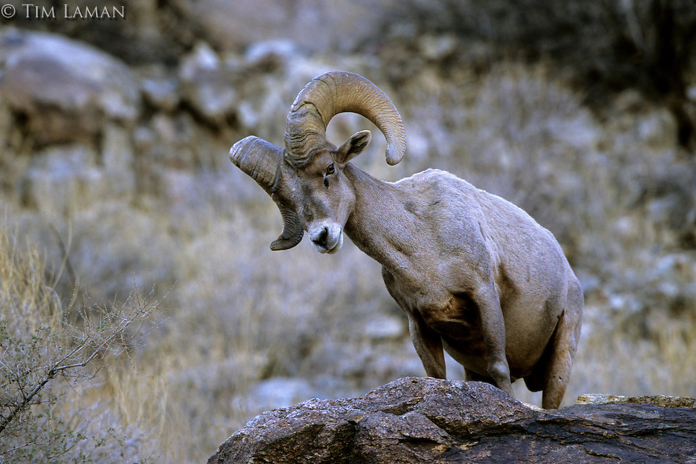 A male desert bighorn sheep (Ovis canadensis nelsoni) in Henderson Canyon.