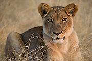 Lioness (Panthera leo)<br /> Moremi Game Reserve, Okavango Delta<br /> BOTSWANA<br /> RANGE: Sub-Saharan Africa