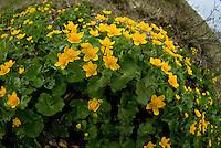Marigold (Caltha palustris), Durmitor National Park, Montenegro
