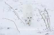 01863-01603 Arctic Fox (Alopex lagopus) in winter Churchil Wildlife Management Area Churchill, MB