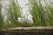 Mew Gull on Nest in Grass