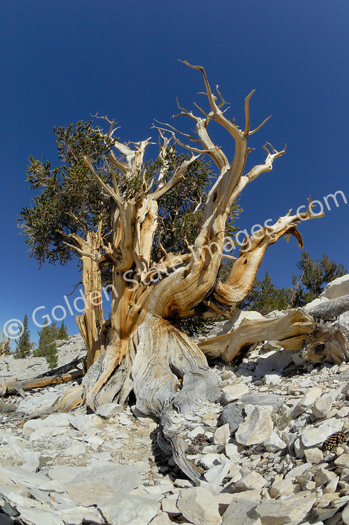 White Mountains Bristlecone Pine<br /> <br /> Growth ring records also establish a very accurate record of climate for the areas in which they grow. In wet years the rings are much larger than in drought years. <br /> <br /> To establish a tree's age small cores are taken from the trunk. The cores provide a crossection of the Bristlecones annual growth rings. The growth rings can then be counted to very accurately establishes the age of a given tree.<br /> <br /> With some dated at over 4500 years old the Bristlecone is believed to be earth's oldest living thing. <br /> <br /> A Bristlecone pine is a study in contrast with its rich browns and greens against the white dolomite rocks and deep blue of the sky. <br /> <br /> In the 1960s Cores from Bristlecones were used to calibrate the radiocarbon dating process now used as the standard by scientists for dating fossils and other artifacts.<br /> <br /> One reason for their success is their ability to thrive in extreme conditions. They grow at high altitude in a type of rocky soil called dolomite. Weather conditions here are very harsh below freezing much of the winter dry and baking hot in the summer. Few other plants can survive much less compete with the Bristlecone in these conditions.<br /> <br /> Species: Pinus longaeva