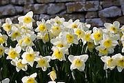 Daffodils , Oxfordshire, United Kingdom UK