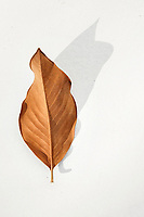 Magnolia Leaf.  Fallen Magnolia leaf photographed on white with strong shadow.