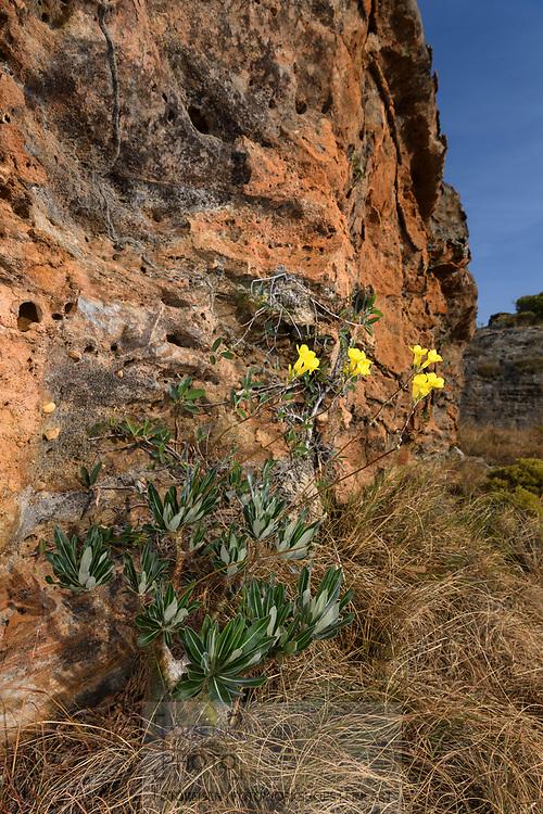 Ein Hundsgiftgewächs mit dem wissenschaftlichen Namen Pachypodium rosulatum, Isalo, Madagaskar<br /> <br /> Pachypodium rosulatum, common name Elephant's Foot Plant, Isalo, Madagascar