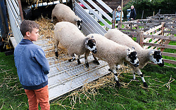 © Licensed to London News Pictures.26/08/15<br /> Egton, UK. <br /> <br /> A young boy watches sheep being unloaded from a truck at the 126th Egton Show in North Yorkshire. <br /> <br /> Egton is one of the largest village shows in the country and is run by a band of voluntary helpers. <br /> <br /> This year the event featured wrought iron and farrier displays, a farmers market, plus horse, cattle, sheep, goat, ferret, fur and feather classes. There was also bee keeping, produce and handicrafts on display.<br /> <br /> Photo credit : Ian Forsyth/LNP