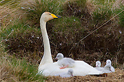 A whooper swan (Cygnus cygnus) tends to her cygnets in northern Iceland. Whooper swans are commonly found on the Iceland wetlands. Whooper swans pair for life, and their cygnets stay with them all winter; they are sometimes joined by offspring from previous years.