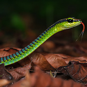 An almost exclusively arboreal snake which rarely descends to the ground. It feeds mainly on tree-dwelling geckoes and skinks, and is diurnal. Taman Negara, Malaysia.