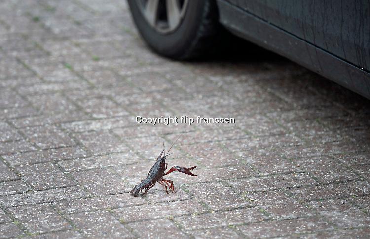 Nederland, Beuningen, 27-6-2020  Deze kreeft neemt en dreigende houding aan tegen een langzaam passerende auto. De rode rivierkreeft is een kreeft uit de zuidoostelijke Verenigde Staten en Mexico, die leeft in zoet water. Vaak wordt de soort aangeduid met Amerikaanse rivierkreeft, maar die naam is ook in gebruik voor enkele andere soorten van het geslacht Procambarus. Het dier is berucht, want het kan de gevaarlijke kreeftenpest overbrengen. Dit gaat ten koste van de inheemse soorten, zoals de Europese zoetwaterkreeft, die hiertegen niet bestand zijn. Het is een invasieve exoot . Foto: ANP/ Hollandse Hoogte/ Flip Franssen