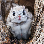 This is a male Japanese dwarf flying squirrel (Pteromys volans orii). This sub-species of Siberian flying squirrel, found only in Hokkaido, Japan and known locally as ezo-momonga, is primarily nocturnal. This male was active during the day because it was competing for the attention of a female in oestrous.