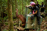 Karmele Llano Sanchez of the International Animal Rescue center in Ketapang and Ayu Budi Hadyansi, a vet from Jakarta, release Prima, a 8 yr old juvenile female, into the wild <br /><br />Gunung Tarak <br />West Kalimantan Province<br />Island of Borneo<br />Indonesia